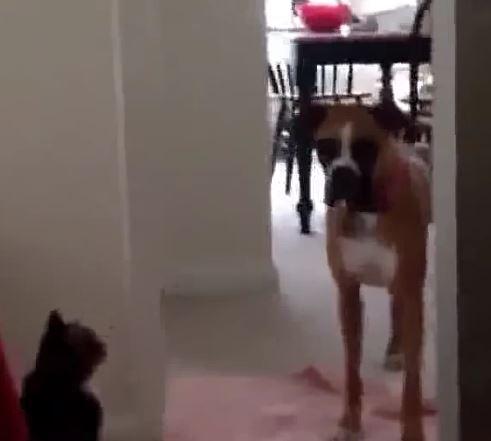 Wenn Katzen Hunde jagen